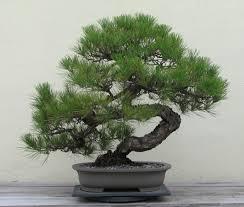 『盆栽』はモノによっては価値ある遺産になる。でも難しい|行政書士阿部総合事務所
