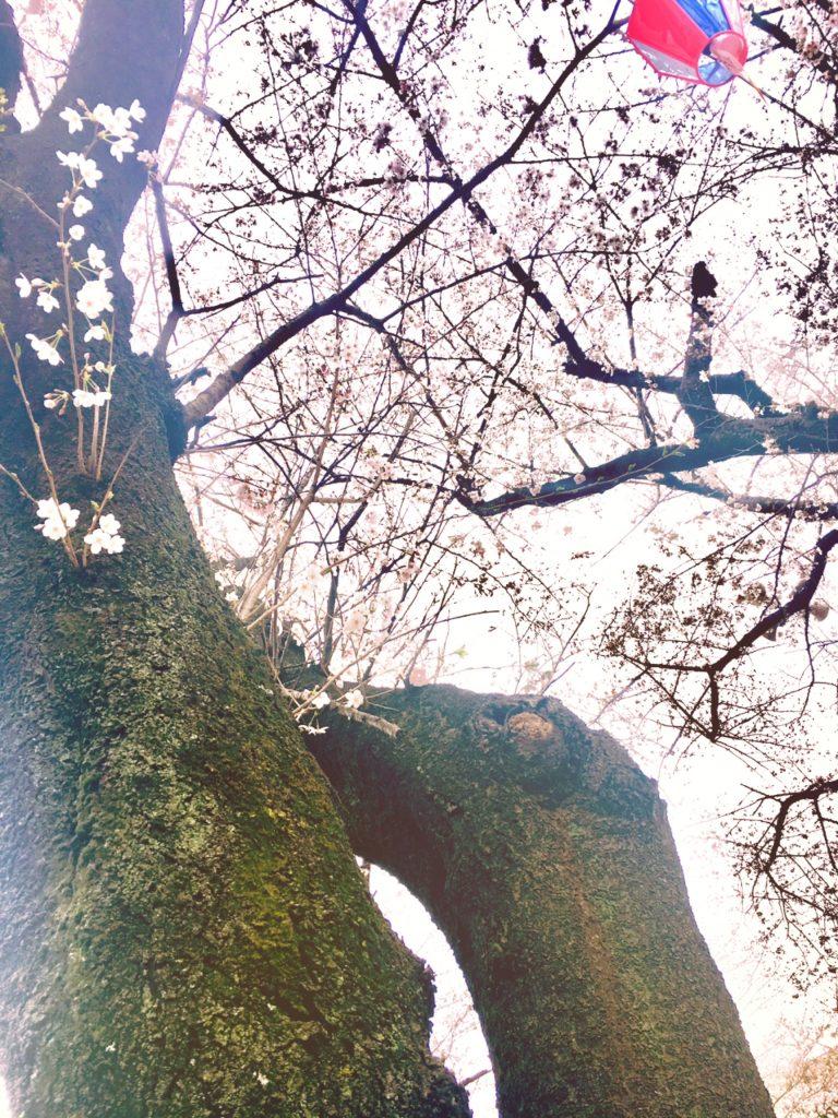 飛鳥山公園の桜と94歳と生きるについて 行政書士阿部総合事務所